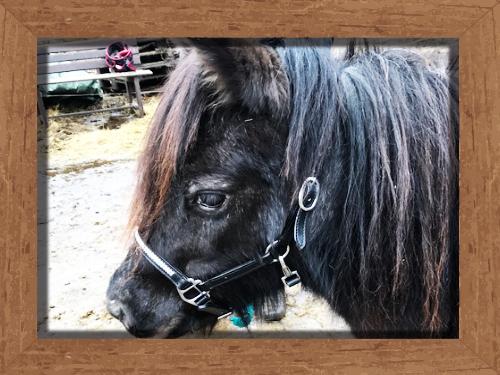 Amerikanisches Miniaturpferd Nimila Reitclub Asmares
